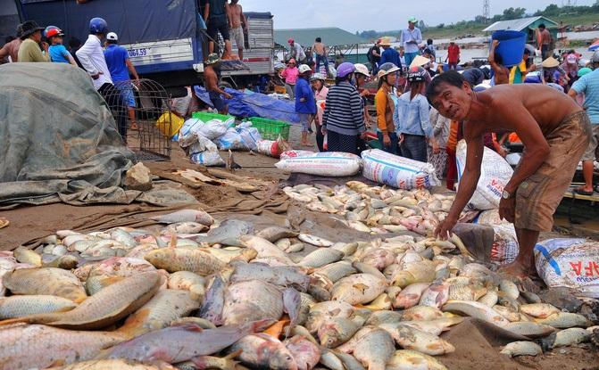 Cá chết trên sông La Ngà bước đầu xác định là do biến đổi môi trường. Ảnh: Tuổi Trẻ