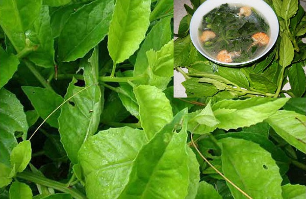 Kỹ thuật trồng cây rau bầu đất vừa làm rau vừa chữa bệnh hiệu quả.