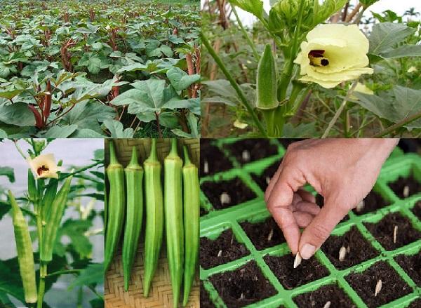 Kỹ thuật trồng cây đâu bắp đơn giản nhưng mang lại năng suất cao.