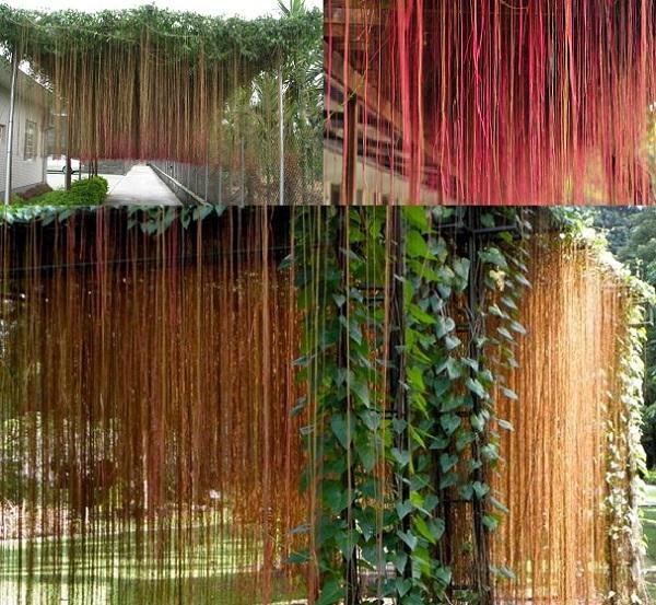 Kỹ thuật trồng cây dây tơ hồng cho hiên nhà mát dịu dàng, gia đình đoàn kết - ảnh 1