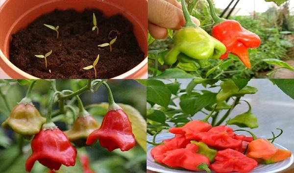Kỹ thuật trồng cây ớt chuông hoa hồng vừa ăn vừa làm cảnh đẹp ngỡ ngàng