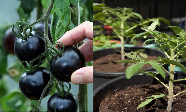 Kỹ thuật trồng cây cà chua đen năng suất vượt trội.