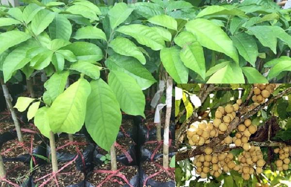 Kỹ thuật trồng cây Bòn Bon Thái năng suất cao, cải thiện kinh tế gia đình