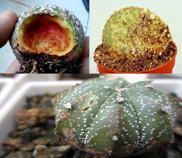 Kỹ thuật trồng cây xương rồng cần lưu ý đến bệnh thối nhũn.