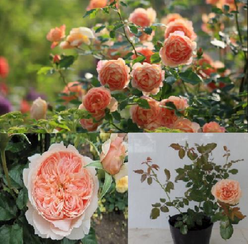 Kỹ thuật trồng hoa hồng ngoại Masora rose đơn giản, đẹp rực rỡ.
