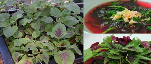 Kỹ thuật trồng rau dền khoang tại nhà vừa có rau ăn vừa làm cây thuốc cực tốt