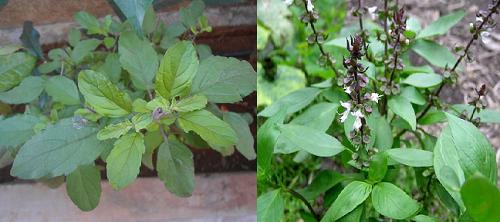 Kỹ thuật trồng cây hương nhu điều trị bệnh nhức đầu, đau bụng tại nhà - ảnh 1