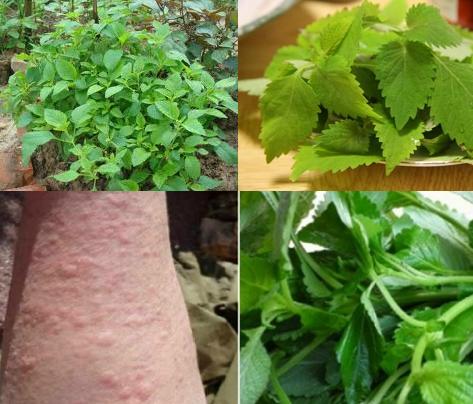 Kỹ thuật trồng rau kinh giới chữa nhiều bệnh tại nhà