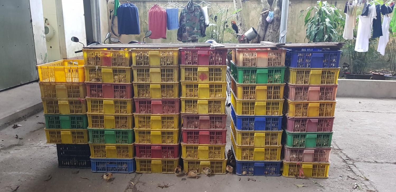 Hơn 7000 con gà bị lực lượng quản lý thị trường số 5 thu giữ