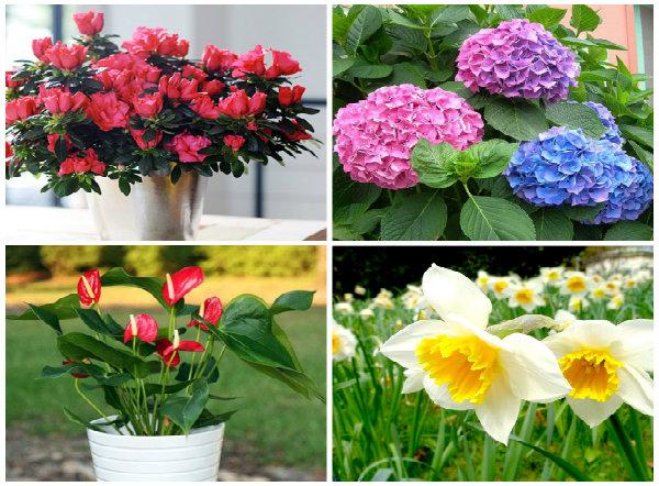 Nhiều loài hoa đẹp nhưng rất nguy hiểm khi chơi Tết cần chú ý