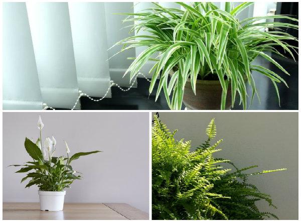 Có nhiều cây hút ẩm khá tốt khi trời nồm ẩm người dân nên trồng trong nhà