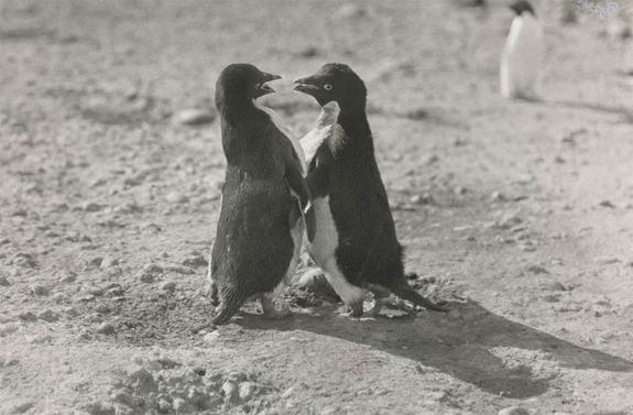 Kiểu giao phối độc đáo của chim cánh cụt được biết từ tin khoa học