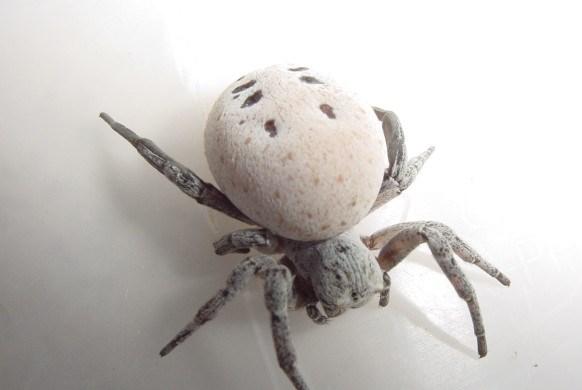 Loài nhện kỳ lạ hy sinh bản thân làm thức ăn cho con sinh sống ở sa mạc Negev của Israel