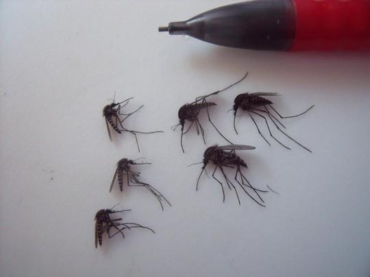 Muỗi khổng lồ xuất hiện ở Bắc Cực là do biến đổi khí hậu