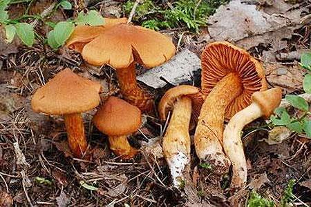 Nấm Cortinarius speciosissimus chứa độc tố gây chết người thường được tìm thấy ở phía bắc Italy.