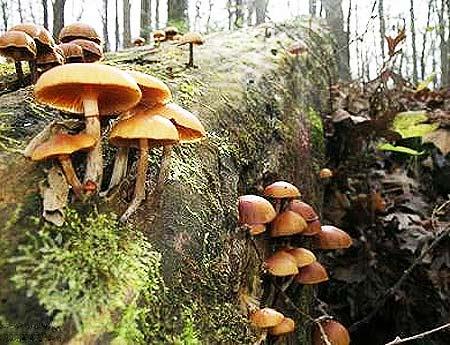 Nấm Galerina marginata hay còn gọi là đầu lâu mùa thu là loại cực độc.