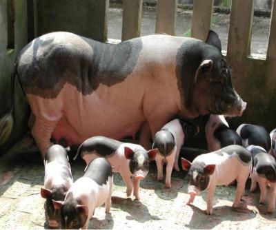 Lựa chọn kỹ càng về gia phả và ngoại hình để nâng cao năng suất sinh sản của lợn nái