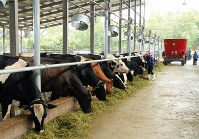 Bổ sung crom vào thức ăn, đảm bảo lượng nước là cách đơn giản giúp tăng năng suất bò sữa
