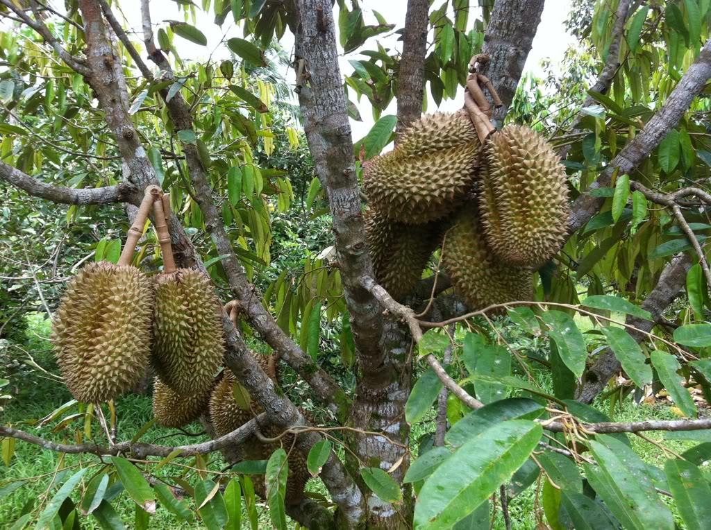 99% diện tích cây sầu riêng trên địa bàn xã Xuân Định được trồng bằng các giống mới, cho năng suất và chất lượng cao.