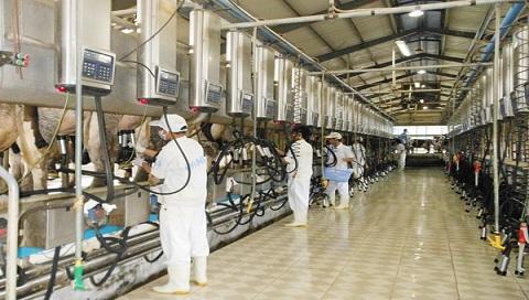 Robot vắt sữa giúp tăng năng suất mà người chăn nuôi bò sữa lại nhàn hơn
