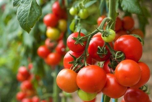 Công cụ di truyền giúp các nhà khoa học xác định giống cà chua có tiềm năng năng suất cao