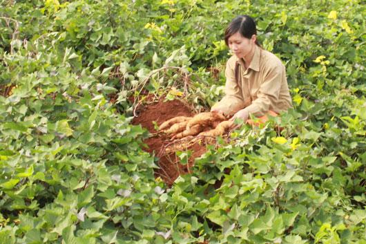 ăng suất và sản lượng khoai lang trên địa bàn huyện Tuy Đức (Đắk Nông) đã tăng mạnh so với trước đây.