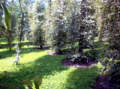Lạc dại giữ đất trong vườn hồ tiêu luôn tươi xốp giúp năng suất tăng lên