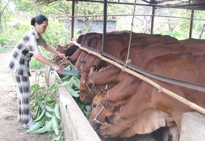 Dự án đã giúp các hộ gia đình nâng cao năng suất, chất lượng trong chăn nuôi bò sữa