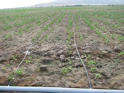Hệ thống tưới nước nhỏ giọt giúp tăng năng suất cây trồng, tăng hiệu quả kinh tế