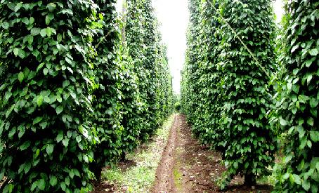 """Vườn tiêu """"3 không"""" cho năng suất 8 - 10 tấn/ha dù cây đã trên 10 năm tuổi"""
