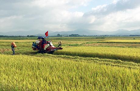 Nông dân TX Đông Triều thu hoạch giống lúa BC trên cánh đồng sản xuất tập trung.