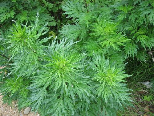 Với kỹ thuật trồng cây ngải cứu đơn giản, mọi người có thể trồng vừa làm rau ăn, vừa làm thuốc chưa bệnh