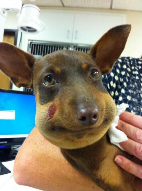 Chết cười với hình ảnh chó sưng vù mặt vì ong đốt