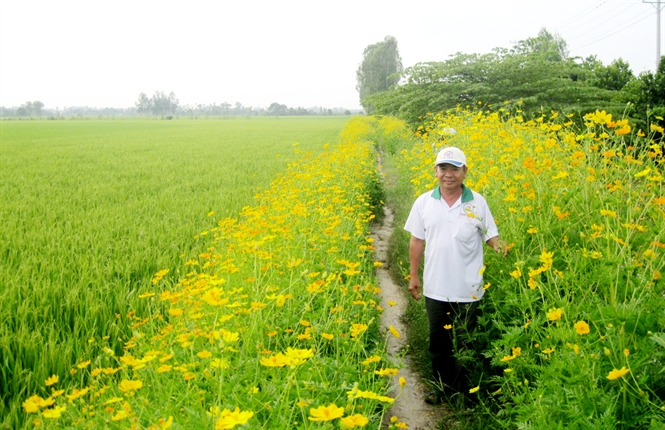 Mô hình trồng lúa xen hoa, vừa đẹp ruộng vừa năng suất cao