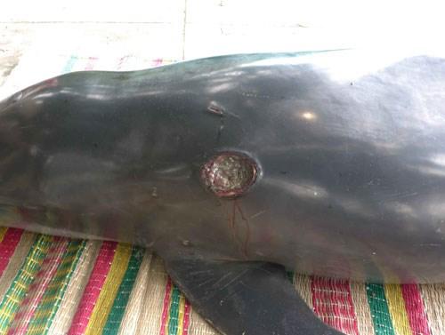 Ngư dân đưa con cá heo hấp hối vào bờ sau nhiều lần đưa nó ra biển bất thành