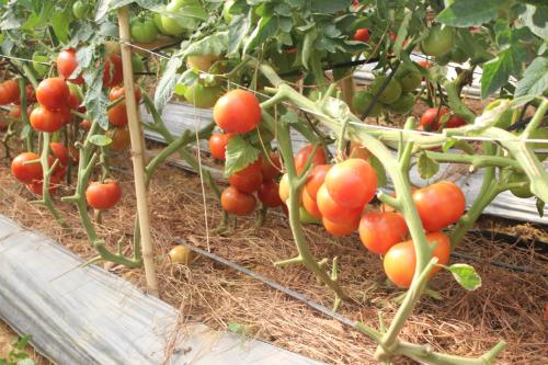 So với cùng kỳ năm trước, giá cà chua Đà Lạt sau Tết Bính Thân 2016 năm nay đang cao hơn gấp 5 lần
