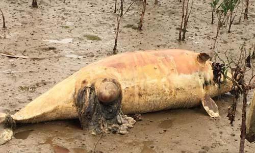 Xác cá heo trôi dạt vào bờ biển Thanh Hóa với vết thương trên bụng