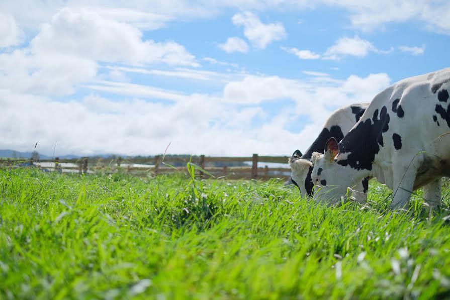 Các gia đình sẽ thích mê khi nhìn thấy khung cảnh đàn bò thong dong gặm cỏ trong bầu không khí trong lành.