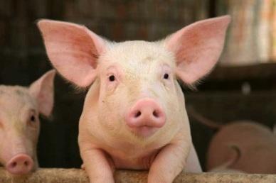 Bộ NN-PTNT kiến nghị nhiều giải pháp giải cứu ngành chăn nuôi