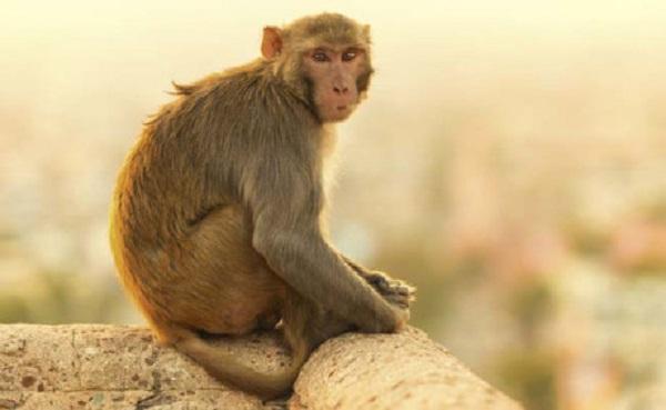 Những chú khỉ trên núi Thiên Hoa sẽ bị bắt về để chuẩn bị cho món óc khỉ.