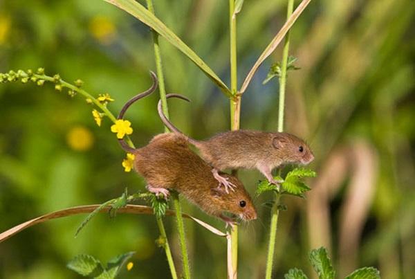 Những chú chuột đồng ở vùng Dương Châu được bắt về nuôi với ngũ cốc, nhân sâm và dược liệu.
