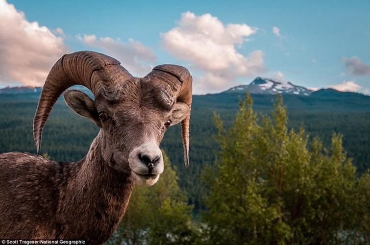 Những chú dê cái mang thai trên núi cao được đem về nuôi dưỡng.