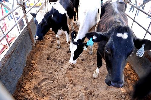 Để đảm bảo đàn bò nhập về được khỏe mạnh, sản xuất sữa có chất lượng và năng suất cao, tại trang trại Hà Tĩnh, các chuyên gia sẽ thực hiện đầy đủ các biện pháp như nuôi cách ly để theo dõi đủ thời gian, sau đó mới được nhập đàn.