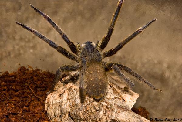 nhện độc
