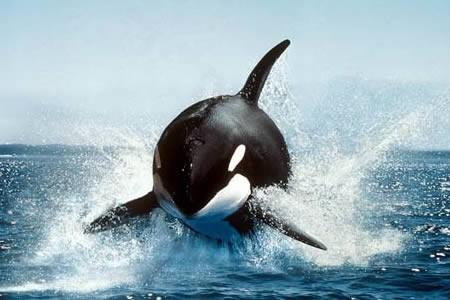 Năm 1324, Hoàng gia Anh quy định nếu một con cá voi chết trên bờ biển nước này, phần đầu con cá sẽ thuộc về nhà vua còn phần đuôi thuộc về nữ hoàng
