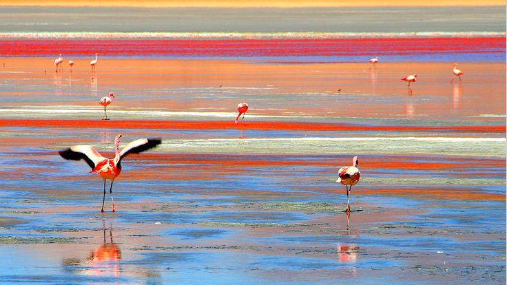 Những con hồng hạc lại rất yêu thích thiên nhiên ở hồ muối đỏ, chúng thường tụ tập hàng trăm con ở đây với hơn 50 loài khác nhau để kiếm ăn và sinh sản. Còn gì thơ mộng hơn khi hòa mình giữa bầy hồng hạc chao lượn trên mặt hồ màu đỏ trắng xen kẽ. Tất cả đã tạo nên cảnh sắc tuyệt vời cho vùng hồ nước Laguna Colorada.