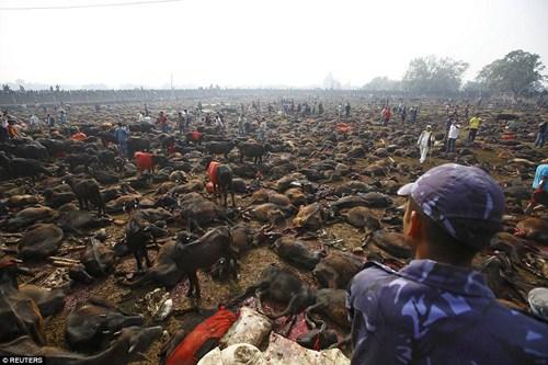 Lễ hội giết động vật ở Ấn Độ diễn ra hàng năm để nhằm mục đích tế thần