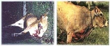 Những con bò chắc chắn phải chết trong lẽ hội giết động vật ở  ở Brazil