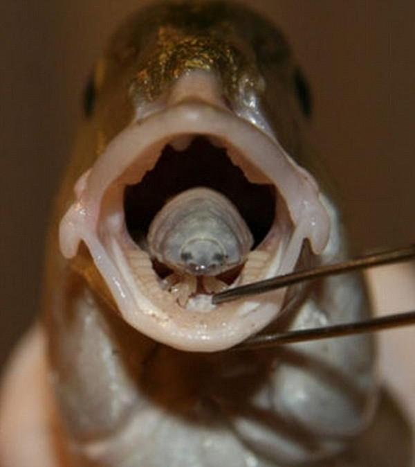 Ký sinh trùng Cymothoa exigua khá đáng sợ khi thay thế hẳn lưỡi của vật chủ