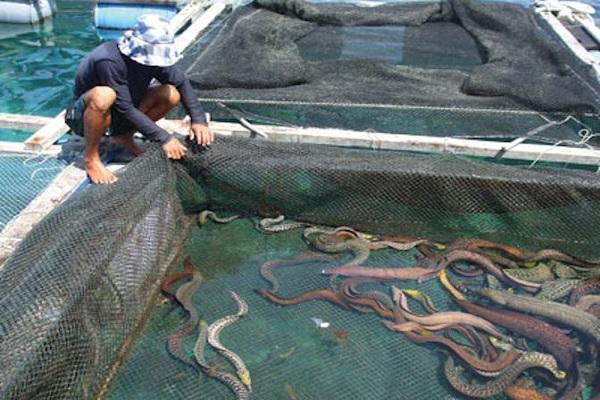 Kỹ thuật nuôi cá chình bông giúp người dân có cơ hội đổi đời trong tầm tay - ảnh 1